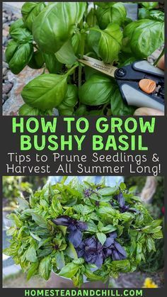 Learn how to grow basil, and how to properly prune and harvest it to create huge, prolific, bushy basil plants - to harvest from all summer long! # Gardening ideas How to Grow Bushy Basil to Harvest All Summer Long Growing Veggies, Growing Plants, How To Grow Plants, Vegetables To Grow, Growing Herbs In Pots, Growing Broccoli, Growing Zucchini, Growing Carrots, Perennial Vegetables