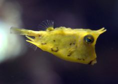 longhorn cowfish... love the face. evolution has a sense of humor!