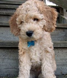 Spoodle, Cockerpoo, Cockapoo, Oodle, Poodle Hybrid, Poodle Mix, Doodle, Dog, Puppy pinned by myoodle.com