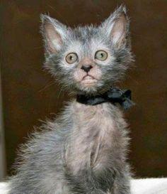 """Новая порода кошек ликои """"Оборотень"""" (фото, видео) Интересыч"""