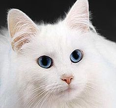 White cat with blue eyes!