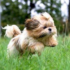 Shih Tzu – Affectionate and Playful Perro Shih Tzu, Shih Tzu Puppy, Shih Tzus, Shitzu Puppies, Cute Puppies, Dogs And Puppies, Retriever Puppies, Bichon Frise, Labrador Retriever