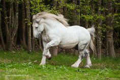 Percheron - Emery's horse in Loves Novelty Big Horses, White Horses, Horse Love, Percheron Horses, Clydesdale, Andalusian Horse, Arabian Horses, Pony Breeds, Horse Breeds