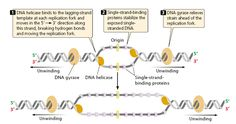 Initiation in DNA replication