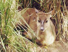 Mazama gouazoubira, veado-catingueiro - Zoológico Virtual da Fauna Brasileira - Brazil Nature