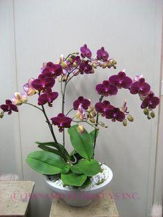 Phalla orchids