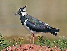 Northern Lapwing - Wikipedia, the free encyclopedia
