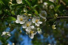 Jasmiini kukkii