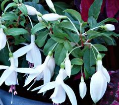 This valuable step forward in Fuchsias combines three assets in one superb plant for the summer garden. The pure white flowers shine against the green foliage; the bushy, branching growth never becomes lank or straggly; and, unlike most of its kind, Windchimes® Upright White/White keeps blooming even in the heat of the summer. Thriving  in beds and borders and in containers, this is an ideal plant for partial shade and evenly moist soil. Lovely planted with bluish Hostas such as 'Hadspen…