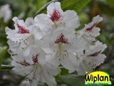 Rhododendron tigerstedtii-gruppen 'P.M.A Tigerstedt', rhododendron. Höjd: 2-3 m. Zon IV.