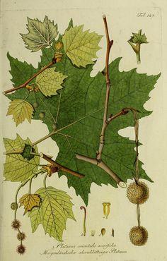Beautiful Botanical Print of Plantus Orientalus Acerifolia (European Sycamore)