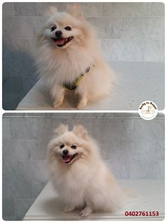 Over the weekend Pomeranian Tinny🐕 visited Ratty to Regal for a soothing warm bath and blow dry. I used whitening shampoo to make Tinny's white coat pop and shine☀ , then used a de-shedding shampoo to remove as much of loose undercoat as possible. After relaxing bath Tinny was blow dried and brushed out! His mum got him back clean and smelling great!😊 Thank you Ella and Tinny!👩🐶 See you next time at Ratty to Regal 🌼 Ratty to Regal - Professional Dog Grooming Service in Bicton  with Lots…