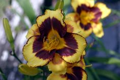 BELLE ISLE SUMMER  A stunning golden yellow flower with a burgundy eye, partial picotee, and a gold throat. Puts on a fabulous late bloom show! Fall reblooms oftentimes have extra segments. Fragrant. (A FOOLED ME kid.)