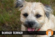 Top 20 Best Small Dog Breeds | Tiny Terrier