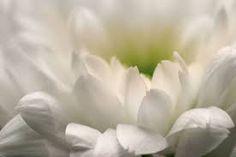 Madam - Dont get even get grateful White chrysanthemum flower Gratitude Changes Everything, Get Well Flowers, White Chrysanthemum, Bouquet, Sympathy Flowers, White Gardens, Winter Theme, Free Photos, Health Benefits