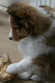 Atwater Sheltie Blessings | Shetland Sheepdog Puppies NY