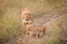Sind Drillinge bei Löwen normal? Was meint Ihr?  Lionfamily. | Masai Mara. | Kenya. |  More www.shop.ingogerlach.de