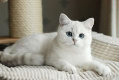 Silver Point British Shorthair Cat