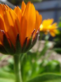 {calendula} my seeds have sprouted! Can't wait to make some wonderful things with them.