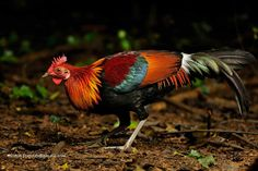 The wild range of Red Junglefowl (Gallus gallus) was historically S India, E across to S China and into Malaysia, the Philippines, and Indonesia. (Ritesh Sharma). http://en.wikipedia.org/wiki/Red_Junglefowl