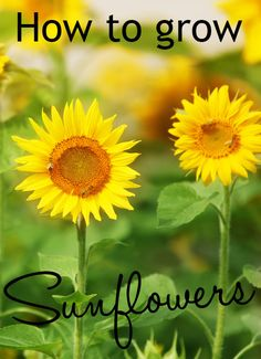 How to grow sunflowers. They are such beautiful plants and so easy to grow. Great gardening project for the kids too