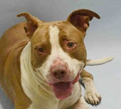 Brooklyn Center HUBBY WUBBY – A1043918 MALE, BROWN / WHITE, AMERICAN STAFF MIX, 2 yrs STRAY – STRAY WAIT, NO HOLD Reason STRAY Intake condition EXAM REQ Intake Date 07/14/2015 http://nycdogs.urgentpodr.org/hubby-wubby-a1043918/