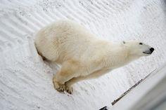 Close up Polar Bear in Churchill