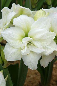 *isa* Rare Flowers, Exotic Flowers, Pretty Flowers, White Flowers, Summer Flowering Bulbs, Amaryllis Bulbs, Amarillis, Moon Garden, Calla Lily