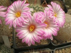 Mammillaria napina