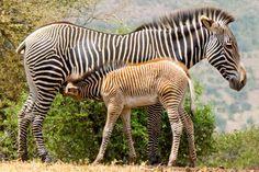 Cebra de Grevy en Mpala, vistas durante el Curso de Grandes Mamíferos en Kenia. Solo quedan 2500 de estos animales.