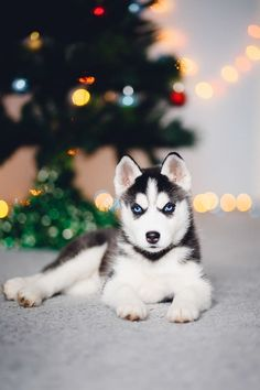 You got: Siberian Husky OMG! There's a husky puppy waiting for you under the Christmas tree. Best day ever, amirite? He must have come all the way from the snowy North Pole for you. One look into those crystal blue eyes and you'll fall in love with this pupper. Just make sure you have your snow boots ready because this very good boy is going to want a LOT of exercise.
