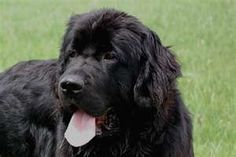 This dog looks like my dog.My dog is suppose to be 1/2 lab and 1/2 golden retriever but I think he has to have some newfie!