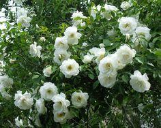 Klimroos (Rosa) - My Perfect Garden