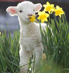 megan: look at this cute lamb! frankie: you think everything is cute. megan: it's smiling, and it's sniffing a daffodil and its nose is shaped like a heart. this lamb is unequivocally cute.