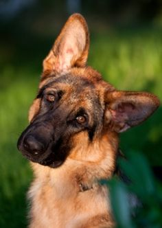 Do you know why your dog tilts his head? GERMAN SHEPHERD