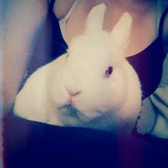 Bowie, precioso conejito toy de 5 años en adopcion. Contacto: info@rabbitrescuespain.org