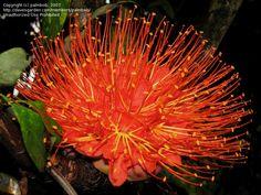 Panama Flame Tree, Rose of Venezuela  Brownea macrophylla