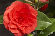 Camellia 'Red Red Rose'-Wedding Flowers