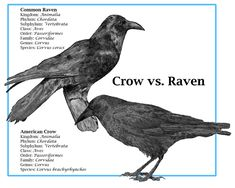 Raven, Crow and Magpie Totem and Animism Raven Art, Crow Or Raven, Raven Totem, Crow Bird, Crow Totem, Viking Raven, American Crow, American Pie, Quoth The Raven