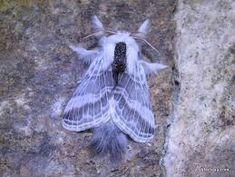 Résultats de recherche d'images pour « purple moth »