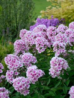 107 best phlox images on pinterest in 2018 gardening gardens and perennials that need infrequent dividing flowers perennialsphlox mightylinksfo