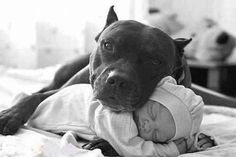37 Pictures That Will Restore Your Faith In Pit Bulls