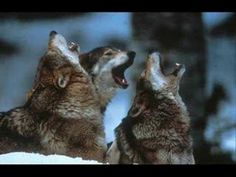 I love the sound of wolves howling.....unless I'm walking in the woods at the cottage.