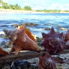 Queen conch shells on Little Harbour Abaco Bahamas