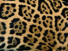 Intricate rings and dots mark the coat of a jaguar (Panthera onca). http://photography.nationalgeographic.com/photography/photos/patterns-animals/#/jaguar-coat_9327_600x450.jpg