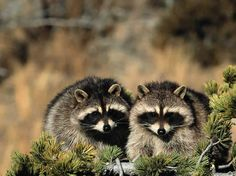 Raccoons are known for their intelligence.  http://infoanimalia.com/raccoon/