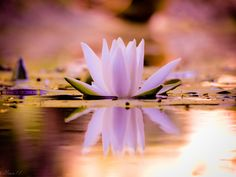 Lotus by Uran11.deviantart.com on @DeviantArt