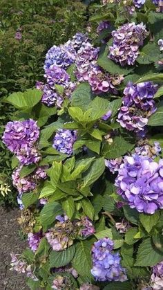 How to grow hydrangeas -colorful beauties in the garden! by monica