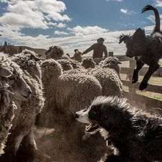 """Outside of the shearing season, gauchos on Isla Grande — the largest of the Tierra del Fuego islands at the tip of South America — may go weeks without seeing a human being. They see horses. They see the dogs they work with, like this rambunctious pair. But mostly, they see #sheep. """"Living here is a choice,"""" said Patrick MacLean, 67, who owns the ranch, Estancia Por Fin. """"No one obliges us to live in Tierra del Fuego, but I think there is no better place to live."""" Each year at this time, the…"""