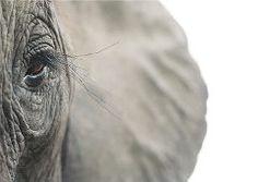 African Elephant, Endangered. Photographer: Tim Flach